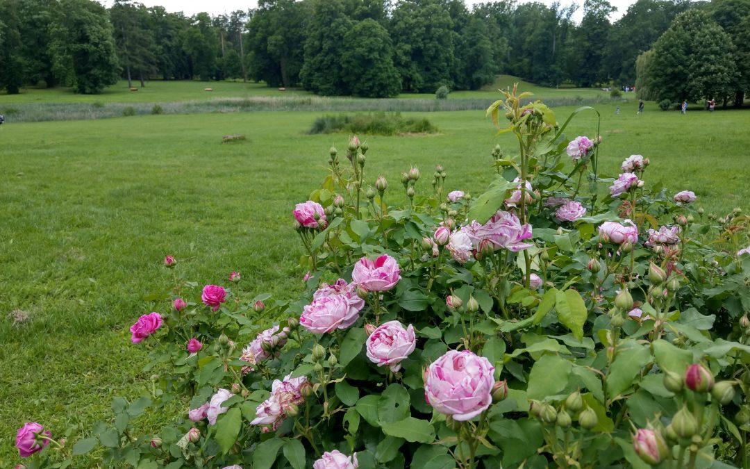 Ruže a hudba v Dolnej Krupej